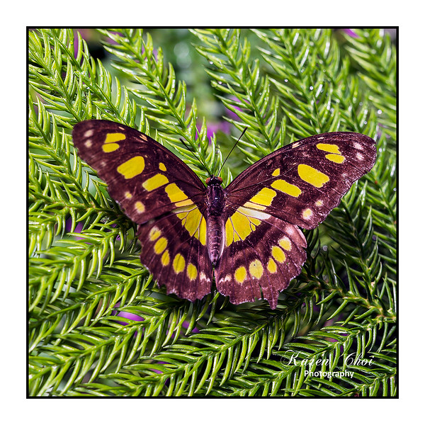 sm Brown and Yellow Butterfly on evergreen.jpg