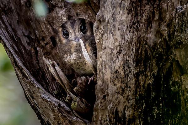 2019-02-03 Australian Owlet Nightjar