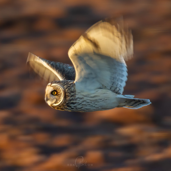 sm owl_M4D6519.jpg