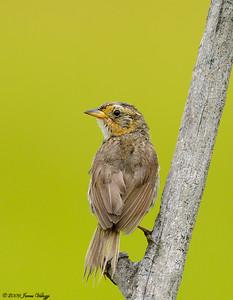 Saltmarsh Sharp-tailed Sparrow, Ammodramus caudacutus