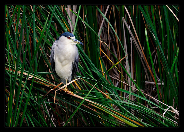 Heron Hideout  A black-crowned night heron seeks shelter in the tall, dense California bulrush.  Shoreline Park Mountain View, California  02-OCT-2010