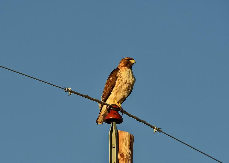 NEA_0029-7x5-Red tail Hawk.jpg