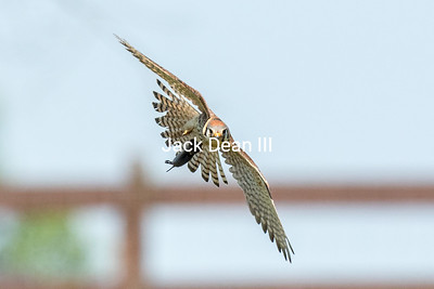 American Kestrel With Catch