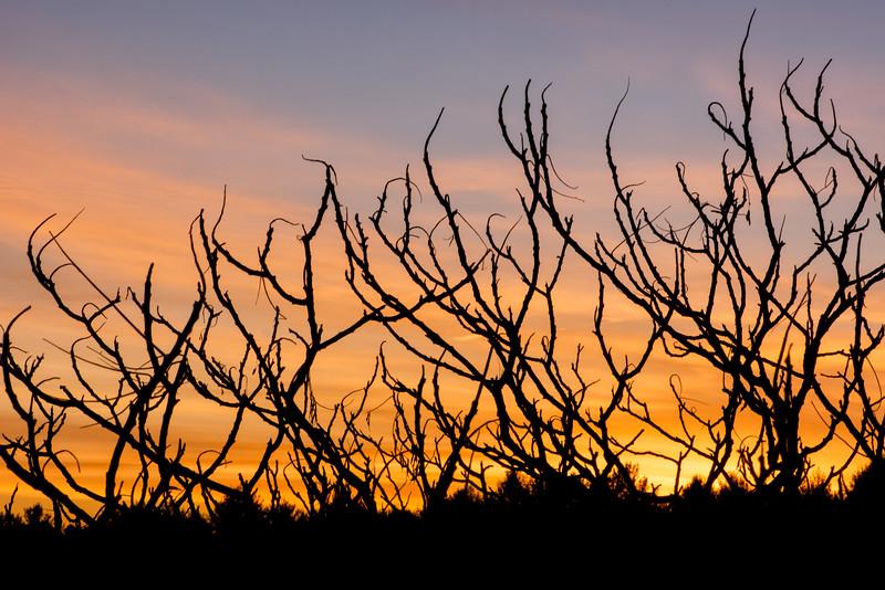 Staghorn sumacs at sunrise_Dec 6-2012_01.jpg