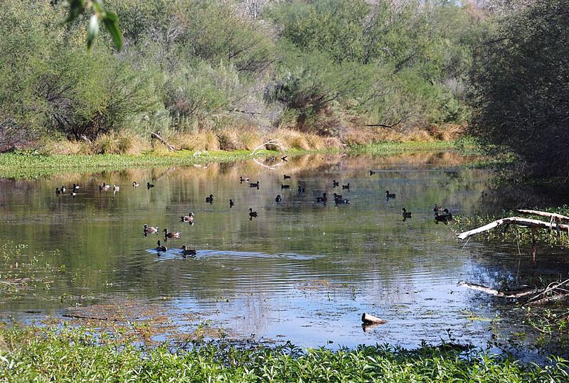2016-11-24 752 Rio Salado wetlands ducks 2.JPG