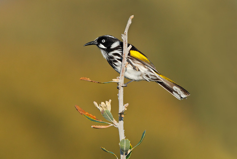 New Holland Honeyeater 1.jpg