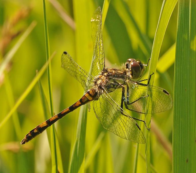 Sympetrum danae (Black Meadowhawk), Saskatchewan, CA - male