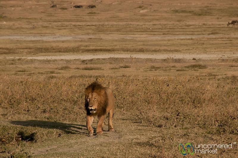 Big Male Lion in Ngorongoro Crater - Tanzania