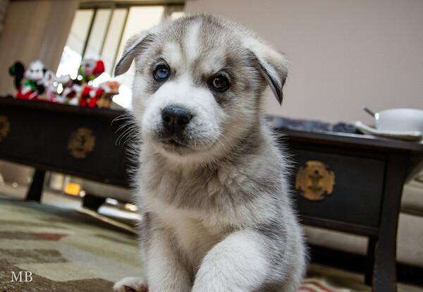 My Siberian Husky (Loki)