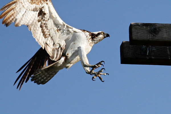 Juvenile Osprey on Platform