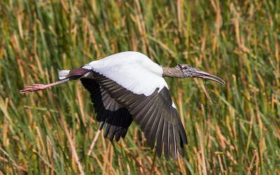 Wood Stork carrying nesting material