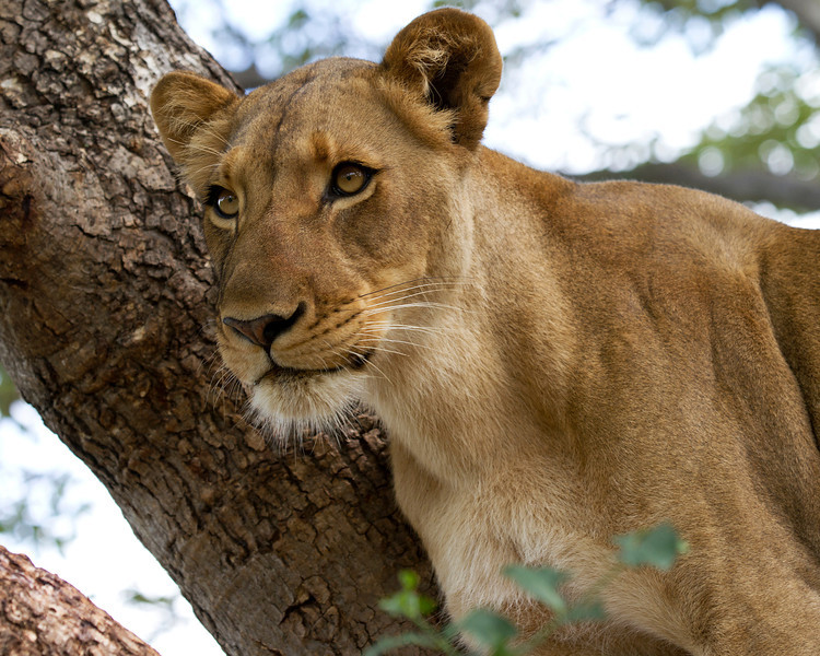 Female-lion-focused-in-tree.jpg