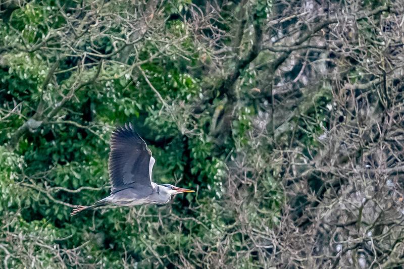 Heron-7.jpg