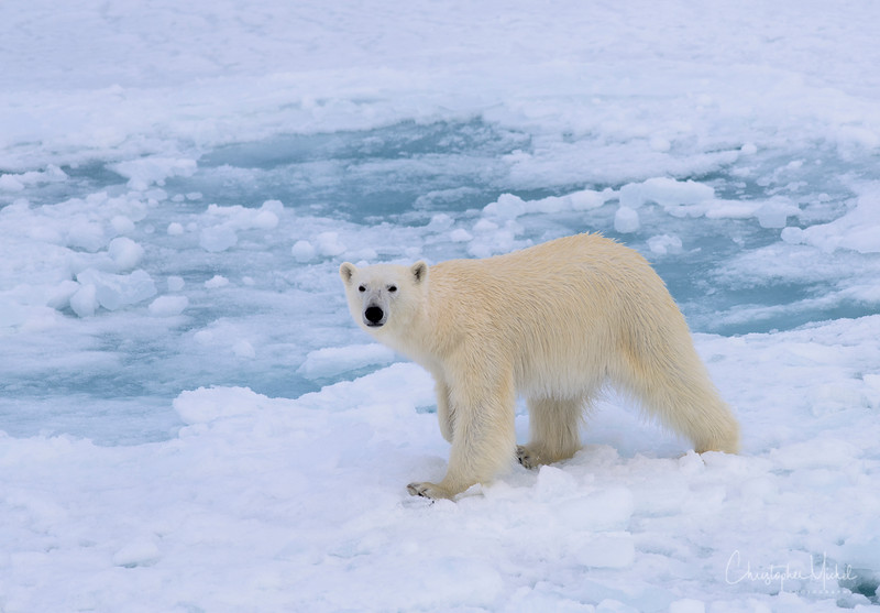 Polar Bear Eye Contact.jpg