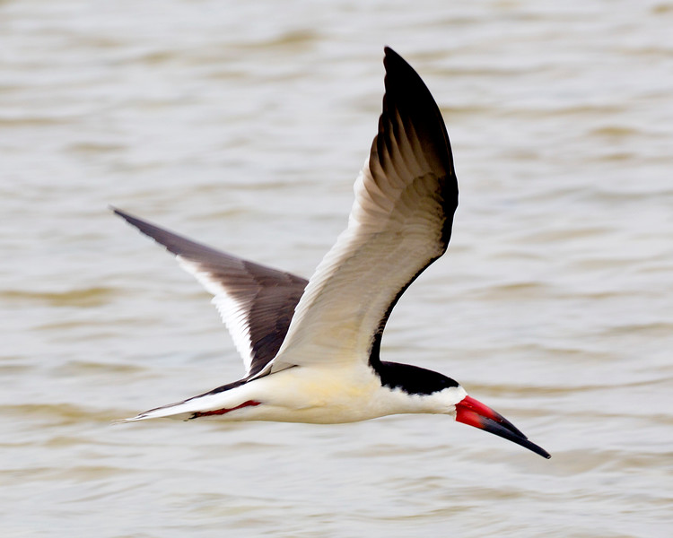 A Black Skimmer, preparing to skim.