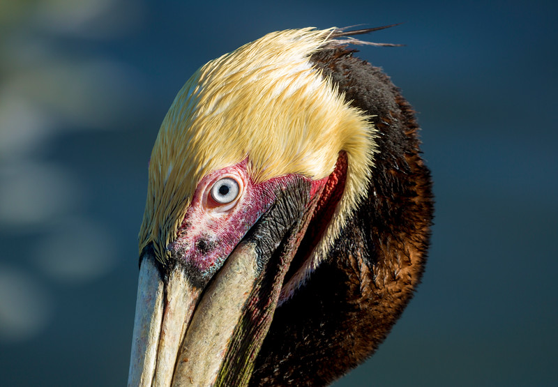 Impaled by the eye of a Brown Pelican