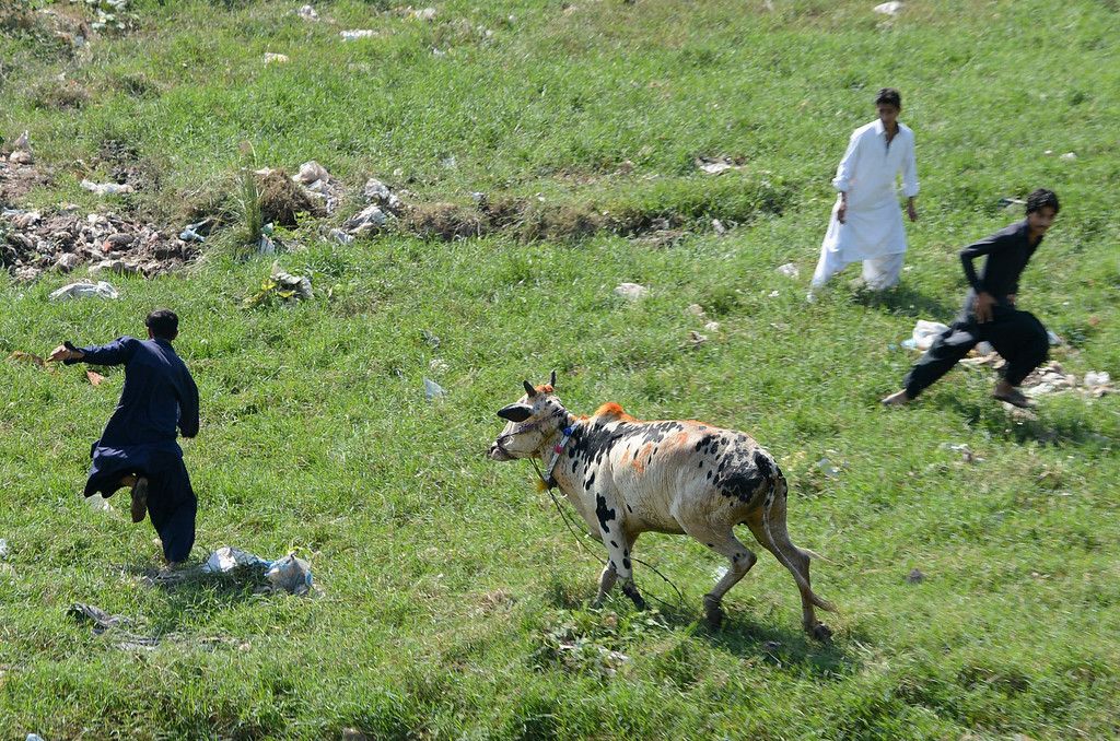 . A sacrificial bull chases his Pakistani owners after running from a house ahead of Muslims festival Eid in Islamabad on October 15, 2013.  AFP PHOTO/ Farooq NAEEM/AFP/Getty Images