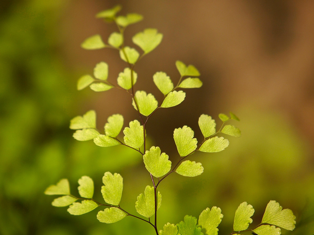 Maidenhair Fern at the LA Country Arboretum - 6 Mar 2011
