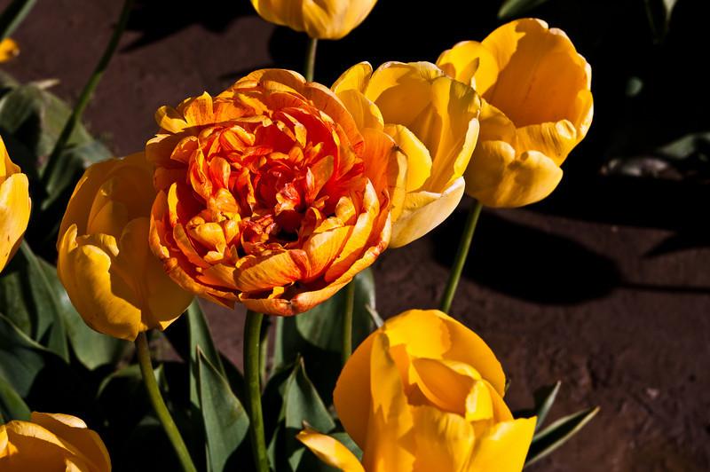 TulipFestival-160.jpg