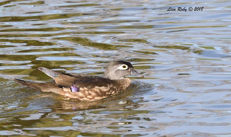 Wood Duck - 1/14/2018 - Lindo Lake