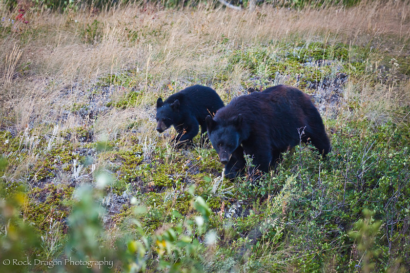 A Black Bear and cub in Watetton Lakes National Park.
