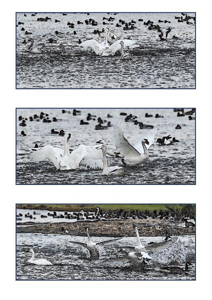 Ian Peters - Swans swanning.jpg