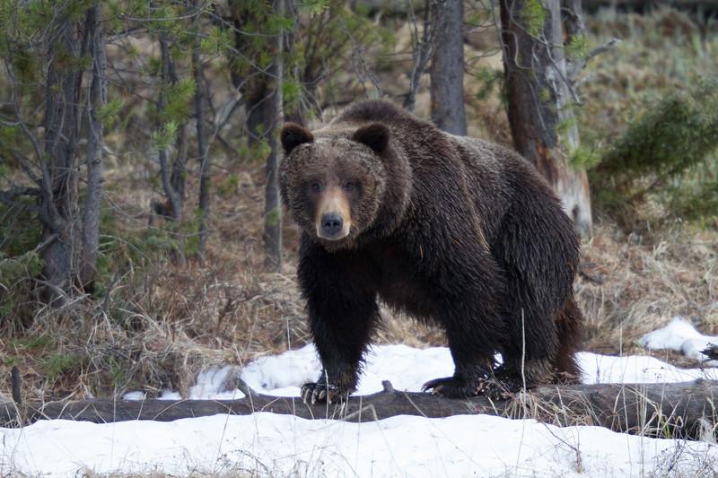 Grizzly bear boar male Yellowstone National Park WY IMG_0498.jpg