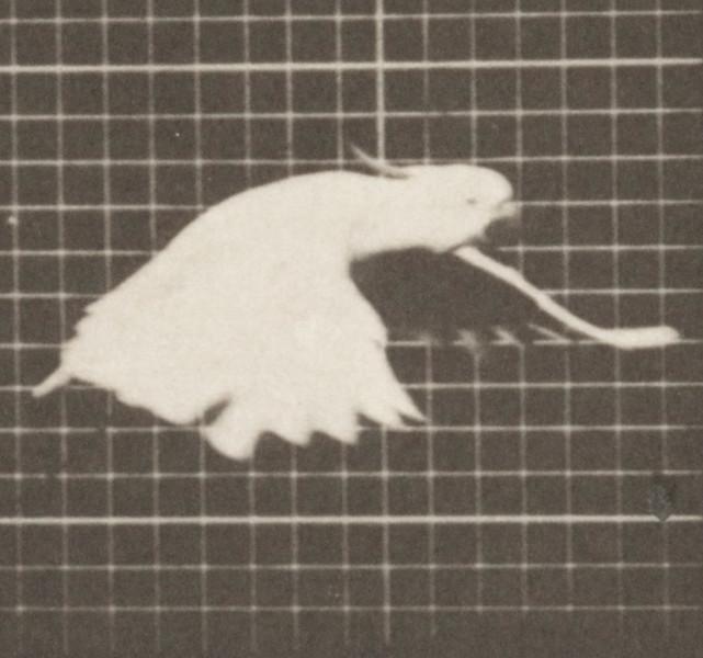 Cockatoo flying