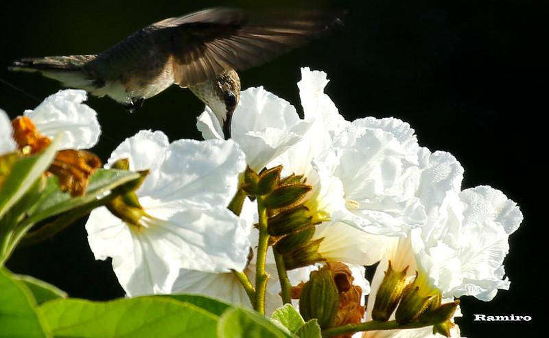 Hummingbird 6-6-15 230.jpg