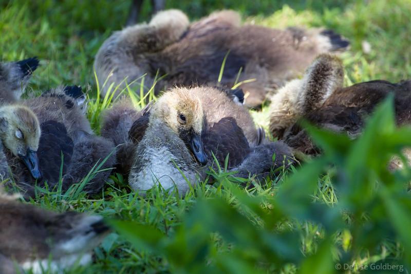 goslings resting