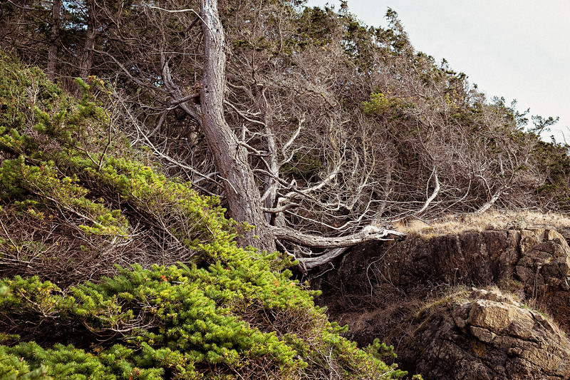 A dead tree leans inward on the cliffside above the ocean in Washington Park, Anacortes, Washington.