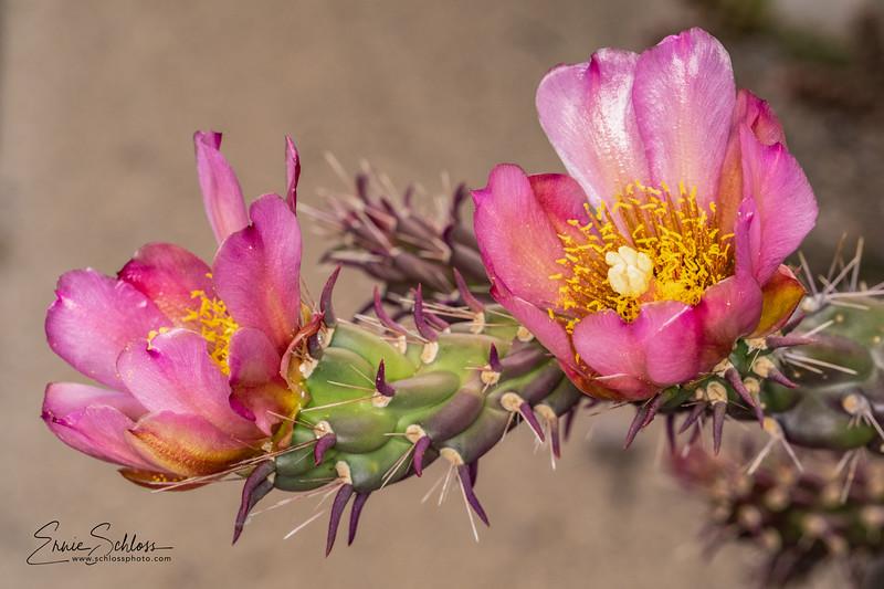IR Cactus Flowers 2-1-2019f-.jpg