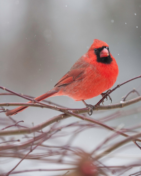 cardinal in snow close.jpg
