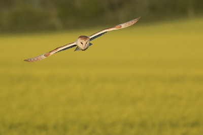 Can you ever have too many Barn Owl photos?