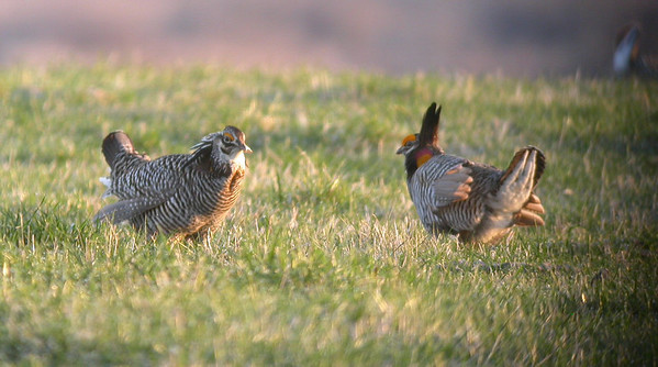 Prairie-Chicken Trip