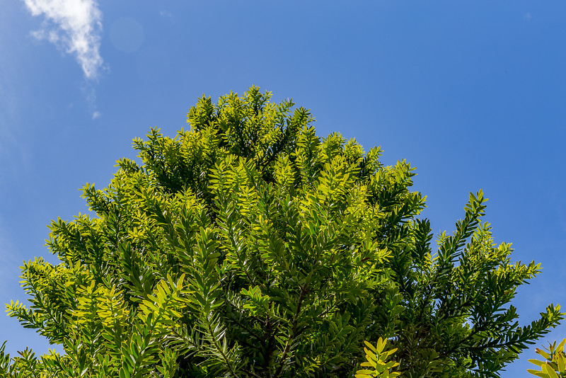 Blätter eines jungen Kauri-Baums