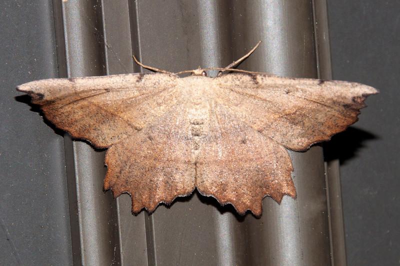 Euchlaena-Obtuse-(Euchlaena obtusaria)- Dunning Lake - Itasca County, MN