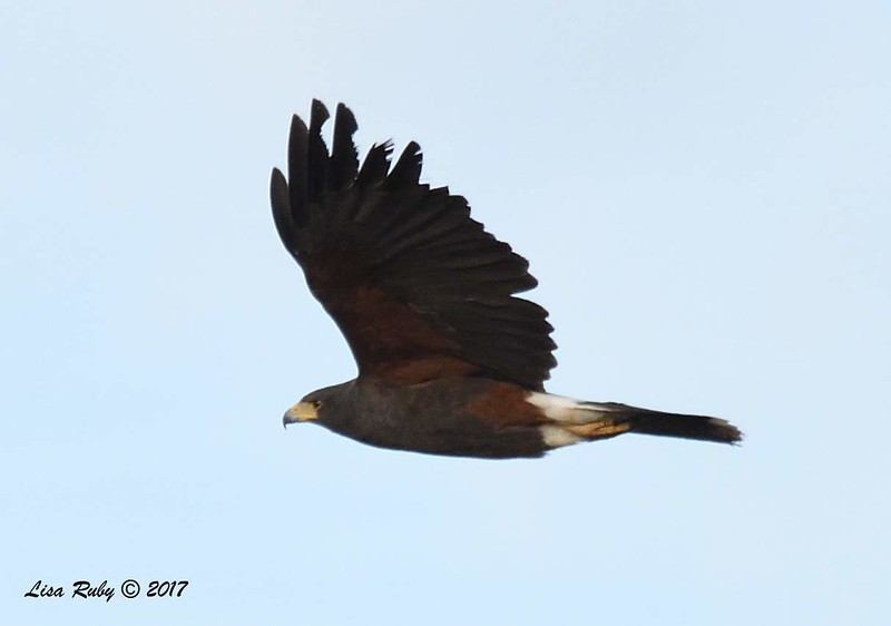 Harris's Hawk - 12/31/2017 - Ramona