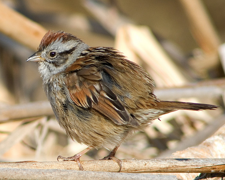 You Should Have Seen Me Last Night!  Swamp Sparrow at Huntley Meadows