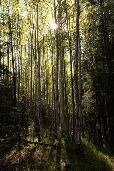 Light Through Birch