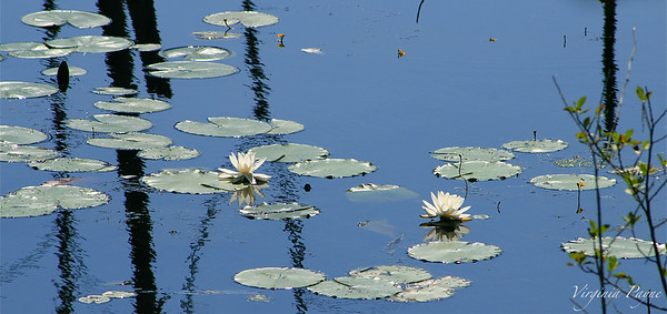 Water Lilies - July 11th, 2014