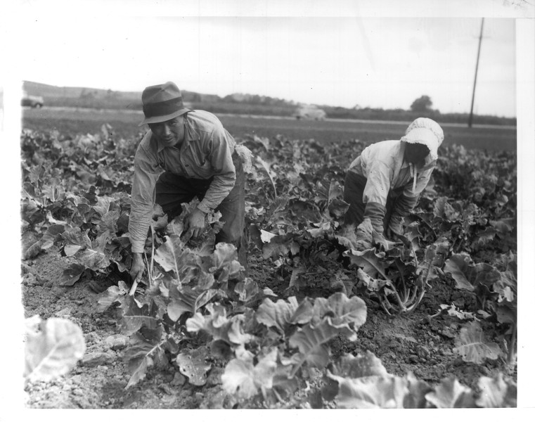 """""""Many Japanese-Americans are engaged in agriculture on the West Coast.  Here are I. Akuchi and Itoyo Minami, both Issei, working in a cauliflower field in Gardena.""""--caption on photograph"""