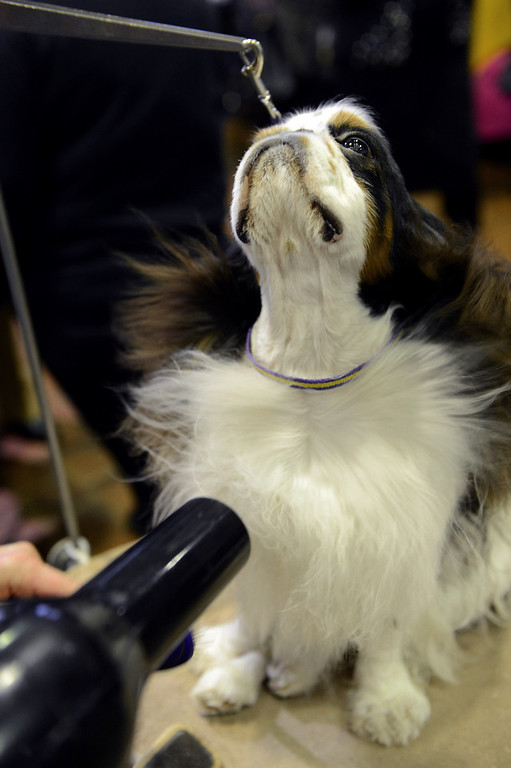 . Pari, an English Toy Spaniel, gets a blow dry before judging at the Westminster Kennel Club Dog Show February 11, 2013 in New York. STAN HONDA/AFP/Getty Images