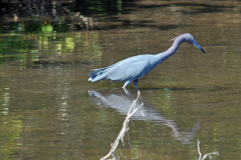 little blue heron at Ding Darling National Wildlife Refuge