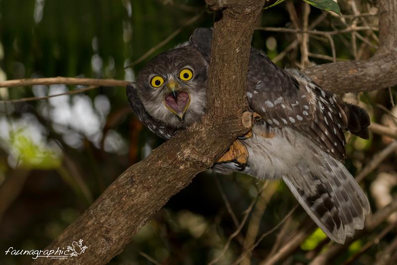 Barking Owl - Juvenile