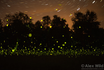 Phenomenal Fireflies