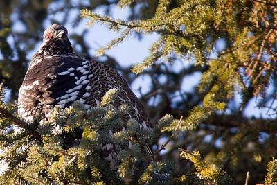 Grouse, Spruce