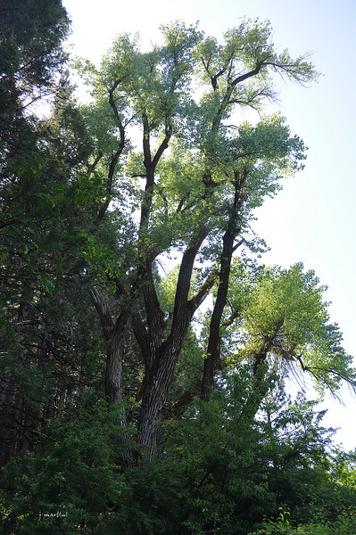 cottonwood 5-29-2012.jpg
