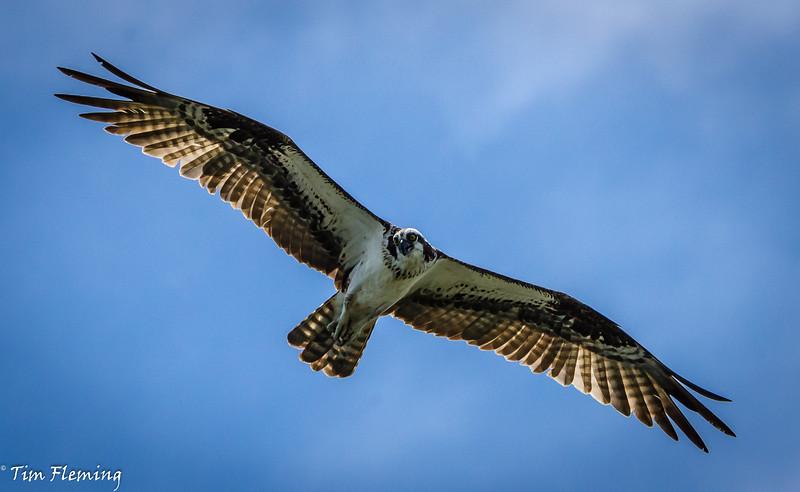 Osprey soaring 071616-60.jpg
