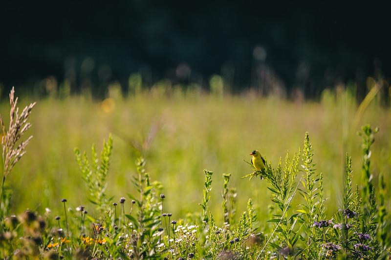 goldfinch on grass in an open prairie